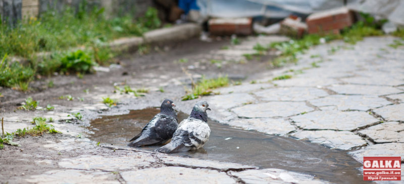 Коломийські рятувальники ризикували життям, аби звільнити з пастки голуба (ВІДЕО)