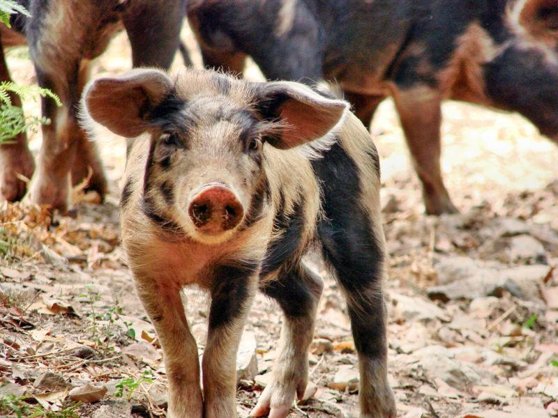 На Львівщині через африканську чуму знищать майже 100 тисяч свиней