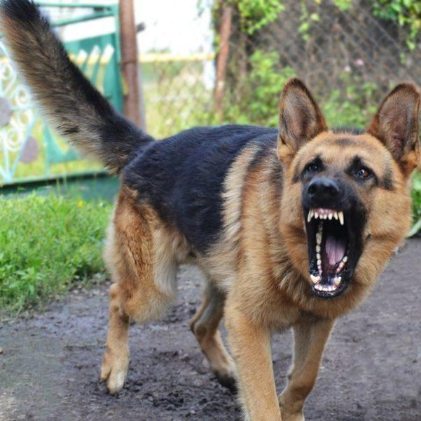 Жінка, котру покусав сторожовий собака під Галичем, третій день знаходиться в реанімації