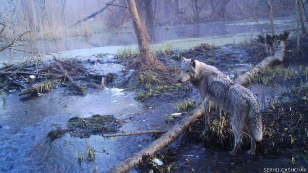 У Чорнобильській зоні поступово відновлюється природа (фото)