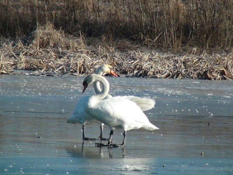 Рятувальники і водолази визволяли лебедів з Пасічнянського озера (ФОТО)