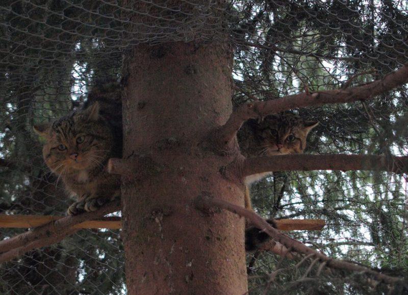 У лісового кота з Галицького природного парку з'явилася подружка