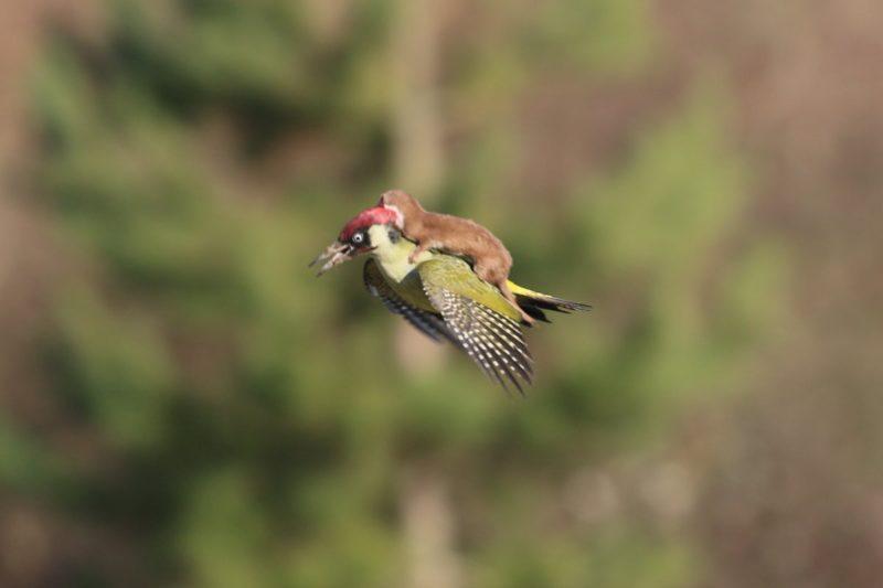 Фотограф зафіксував фантастичний політ ласки верхи на дятлі (фото)