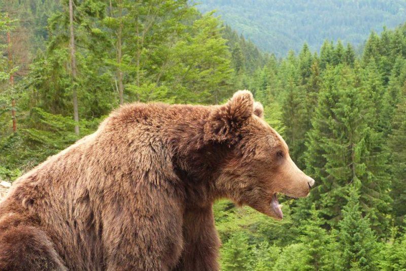 Прикарпатець зробив вражаючі знімки зустрічі з бурим ведмедем в Карпатах  (ФОТО)
