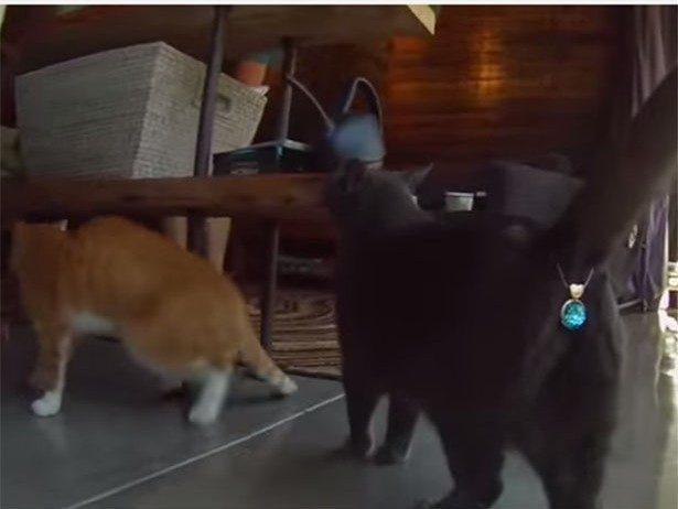 У мережі продають блискучі прикраси для котячих дуп (ВІДЕО)