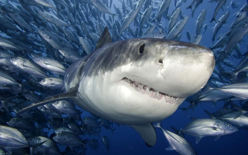 """Акула захотіла у прямому ефірі """"поласувати"""" чемпіоном світу з серфінгу (ВІДЕО)"""