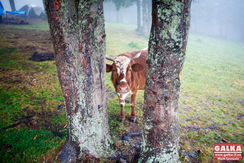 Юна прикарпатка поцупила корову