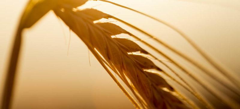 До 2070 року на землі зникне пшениця і рис, – вчені
