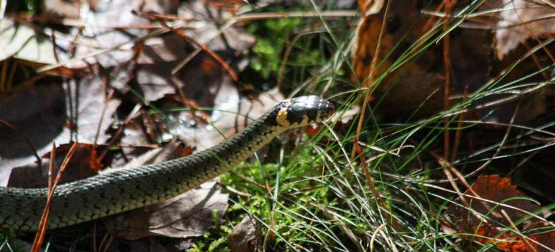 Небезпечні повзуни: школярка-гуцулка потрапила у лікарню після укусу змії