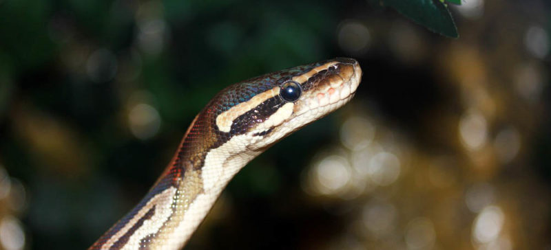 На Франківщині дівчинку біля дому вкусила змія
