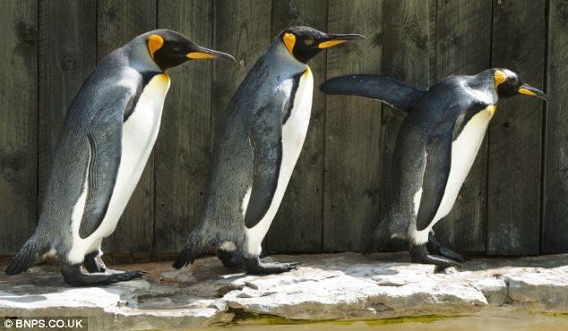У голландському зоопарку пінгвіни-геї вкрали у гетеросексуальної пари яйце