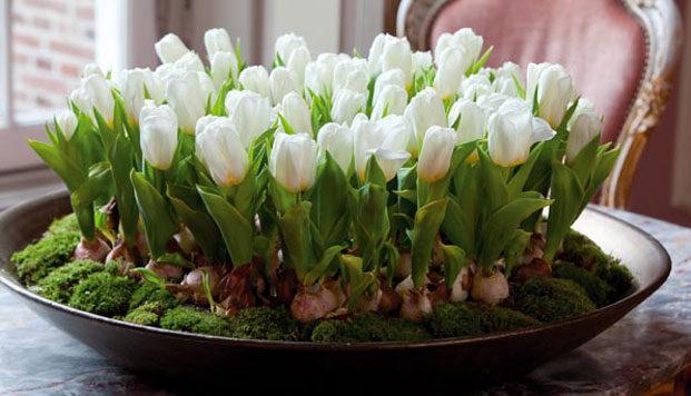 """""""Галка"""" рекомендує: Посаджені в листопаді тюльпани зацвітуть на Новий рік"""