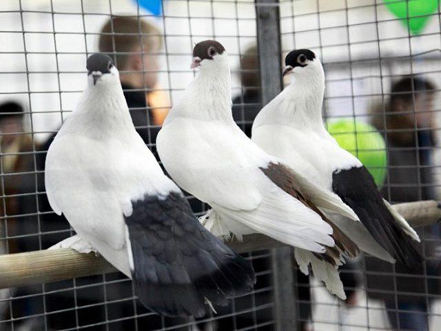 На Прикарпатті в небо одночасно випустили 1200 голубів (ВІДЕО)