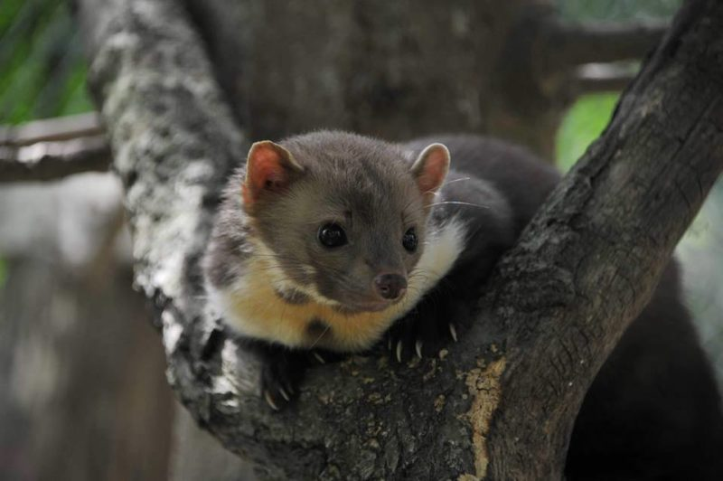 Куниця з Києва поселилася у Галицькому природному парку (ФОТО)