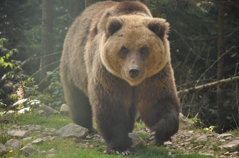 Пішов по гриби, а натрапив на ведмедя: фотограф показав світлини своєї унікальної зустрічі з клишоногим у Карпатах (ФОТО)