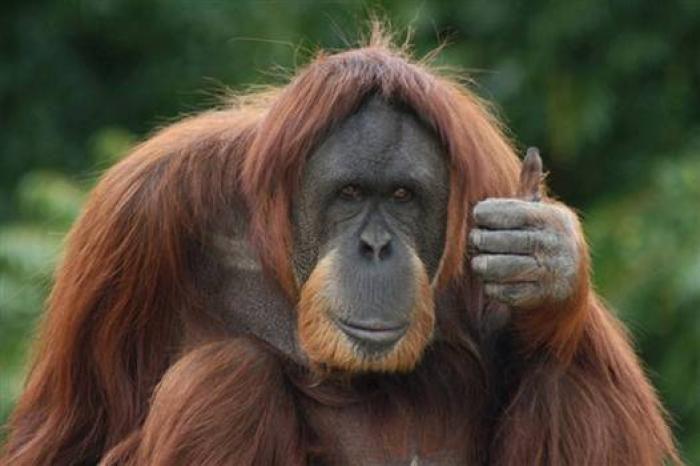 Відеохіт: орангутанг спробував повторити картковий фокус (ВІДЕО)