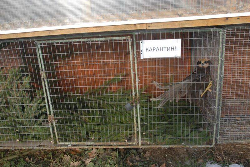 Травмовані сокіл та лунь почали жити у галицькому Центрі реабілітації тварин (ФОТО)