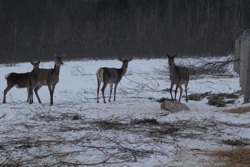 На Прикарпатті врятували від загибелі трьох благородних оленів (ФОТО)