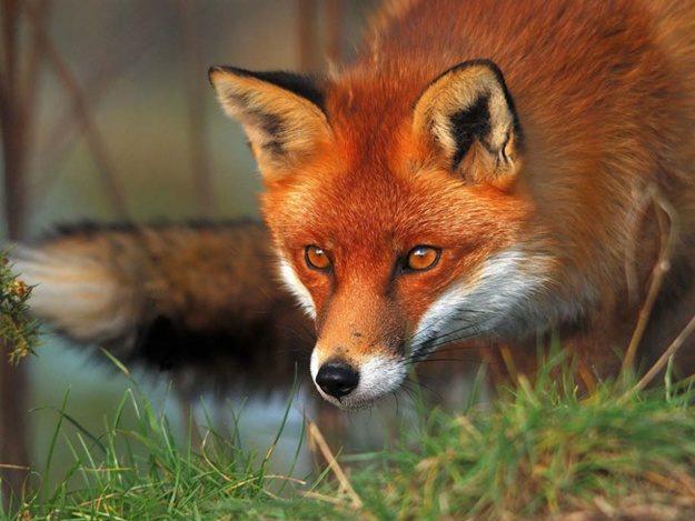 У Франківському районі скажена лисиця покусала людину