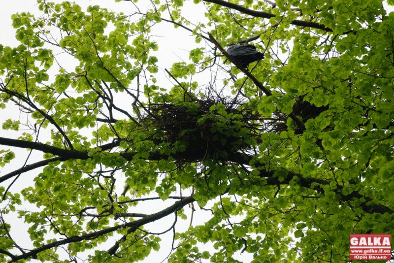 Боротьба з воронами у парку є наразі безрезультатною, – Василюк