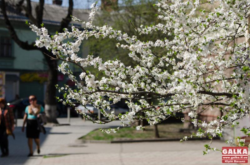 У Франківську висадили на 200 дерев більше, ніж торік