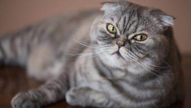 Ветеринари закликають зупинити розведення висловухих котів