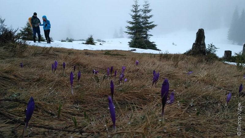 Сніг і квіти. Карпати поки що сонцем не тішать (ФОТО)