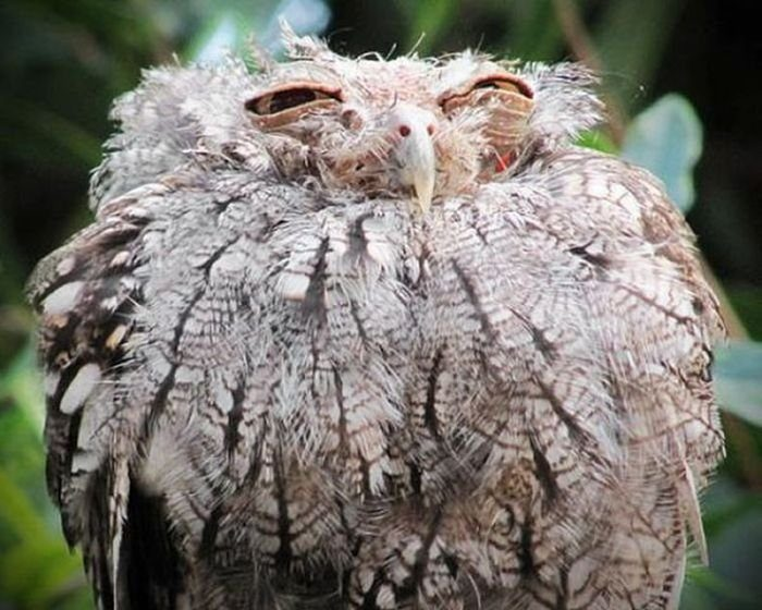 фото невыспавшейся совы сейчас
