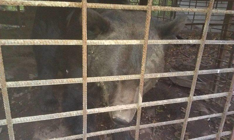 Активісти намагаються врятувати бурих ведмедів з колишньої конопельної фермина Косівщині(ВІДЕО)