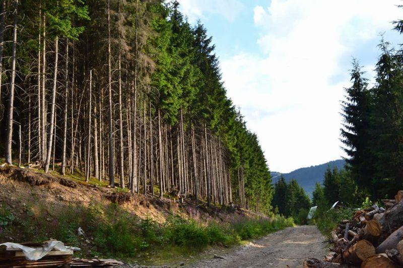 На Прикарпатті у військовому лісгоспі незаконного порізали дуби та ясени на 500 тисяч, – військова прокуратура