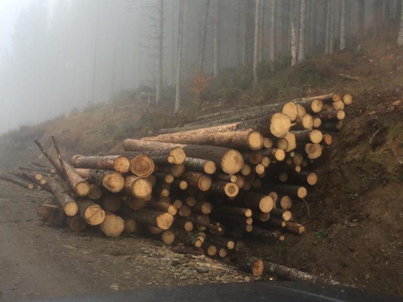 На Прикарпатті під виглядом санітарних рубок масштабно вирубують здоровий ліс (ВІДЕО)