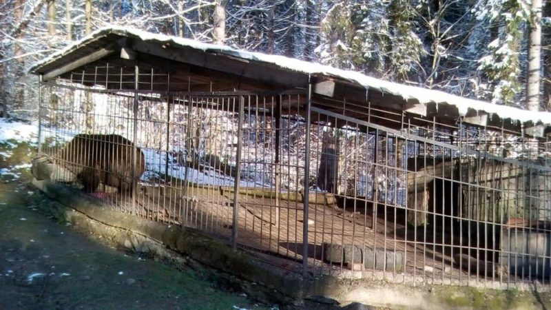 Косівський підприємець розповів, чому не хоче віддавати ведмедя у реабілітаційний центр (ФОТО)