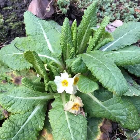 На Прикарпатті 1 січня цвітуть квіти (ФОТО)