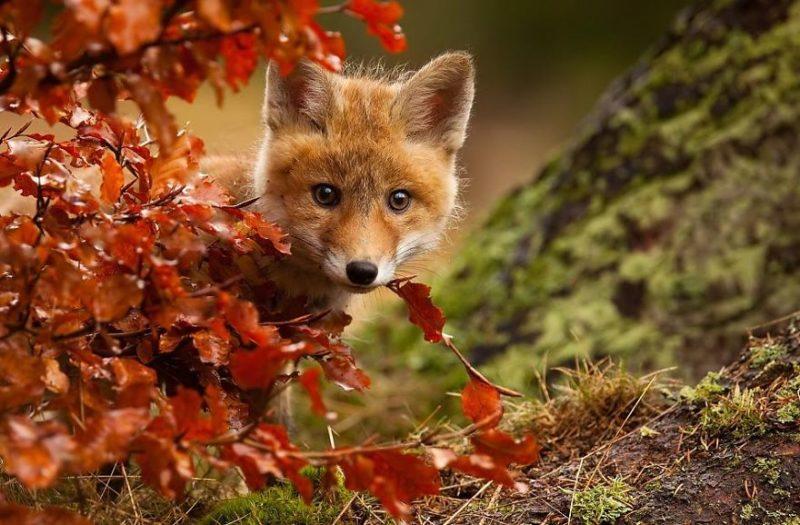 Мисливців заохочують полювати на лисиць,щоб зупинити поширення сказу на Прикарпатті