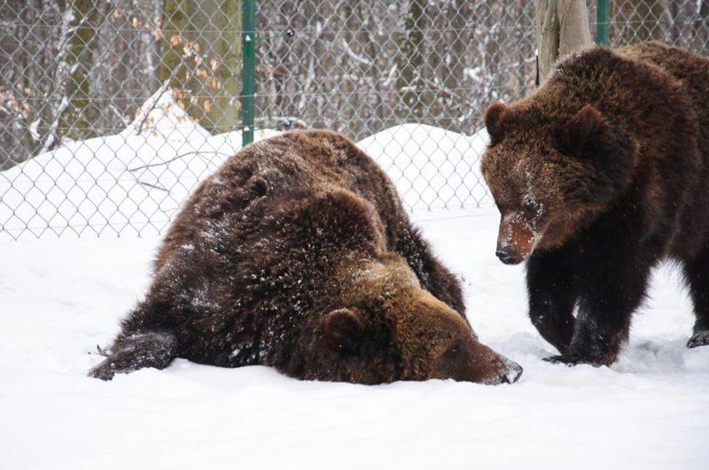 Врятована родина ведмедів вперше впала в зимову сплячку в Галицькому нацпарку (ВІДЕО)