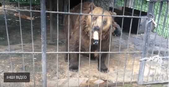 Нардеп Шевченко поїв ведмедя кока-колою і пивом, – зоозахисниця (ВІДЕО)