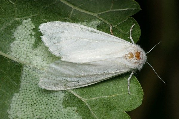 """Прикарпатців попереджають про білого метелика, який """"полюбляє"""" понад 300 видів рослин"""