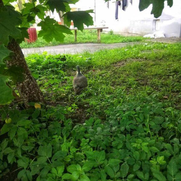 На Прикарпатті поселився найбільший голуб Європи (ФОТОФАКТ)