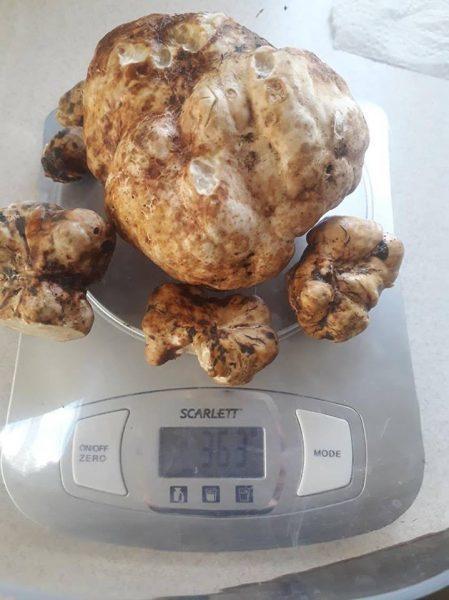 Коломиянка продасть рідкісний гриб з аукціону, щоб допомогти онкохворому хлопчику (ФОТО)