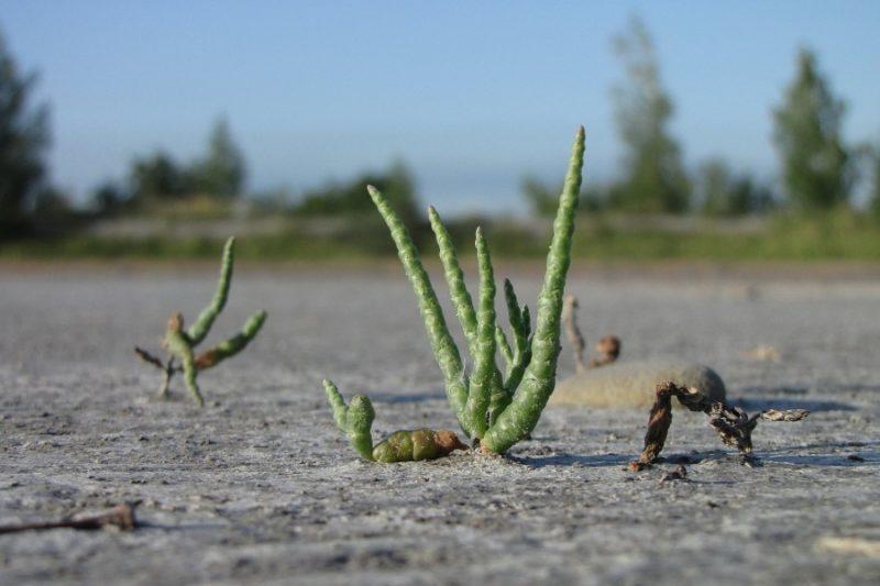 На Калущині росте рослина, якою смакують у приморських районах Франції (ФОТО)