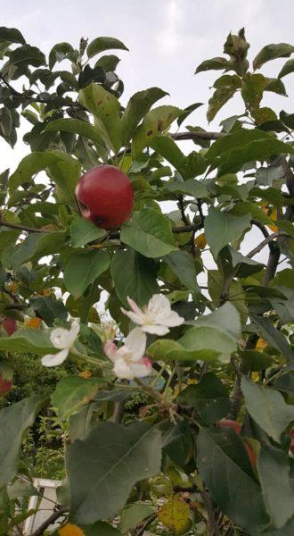 І дерево цвіте, і плоди дозрівають. На Прикарпатті в серпні зацвіла яблуня (ФОТО)