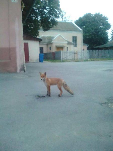 Середмістям Коломиї гуляв хижий звір (ФОТО)
