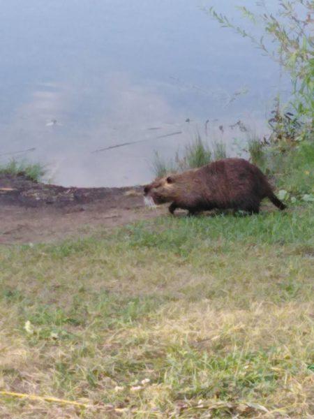 На Німецькому озері живе нутрія розміром із собаку (ФОТО)