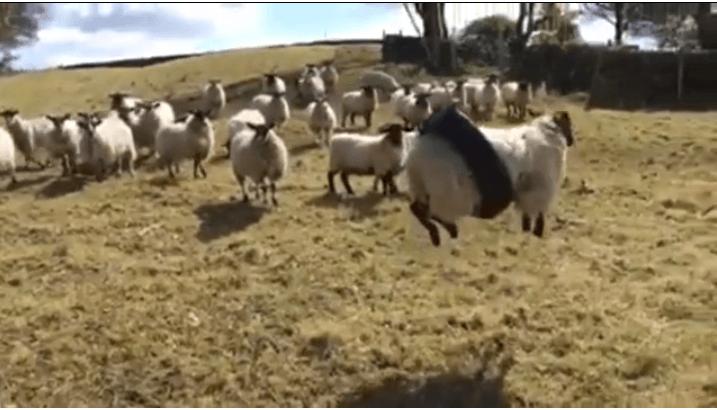 Весела вівця на гойдалці підірвала мережу (ВІДЕО)