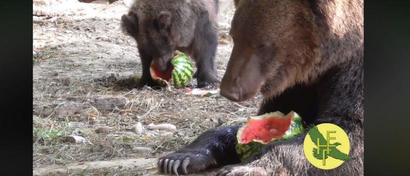 Для ведмедів з Галицького нацпарку влаштували кавунову вечірку (ВІДЕО)
