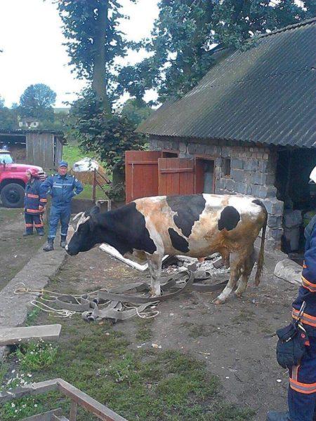 Прикарпатські рятувальники витягували корову з підвалу (ФОТО)
