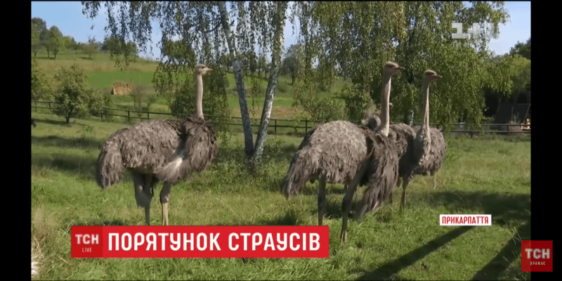 У прикарпатському селі намагаються врятувати страусів, на яких не вдалося побудувати бізнес (ВІДЕО)