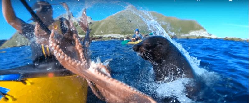 Поблизу Нової Зеландії тюлень вдарив туриста восьминогом по обличчю (ВІДЕО)