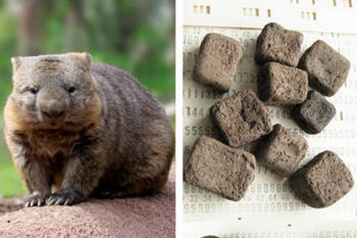 Вчені пояснили, чому фекалії вомбатів мають кубічну форму
