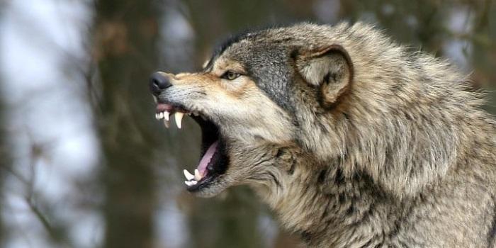 На Тернопільщині вовк напав на двох селян, у чоловіків – кусано-рвані рани (ФОТО)